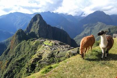 Llamas High over Machu Picchu